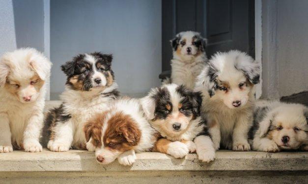 Evde Yavru Köpek Eğitimi – 10 Altın Tavsiye