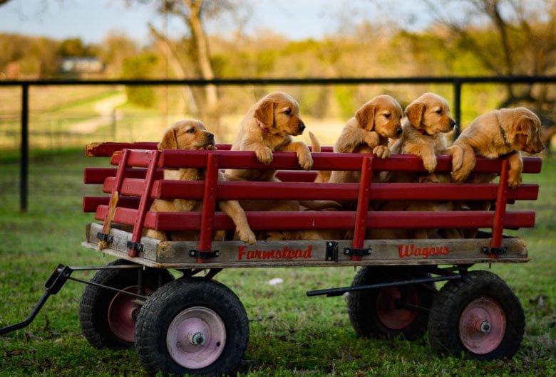 evde yavru köpek eğitimi için sosyalleştirin