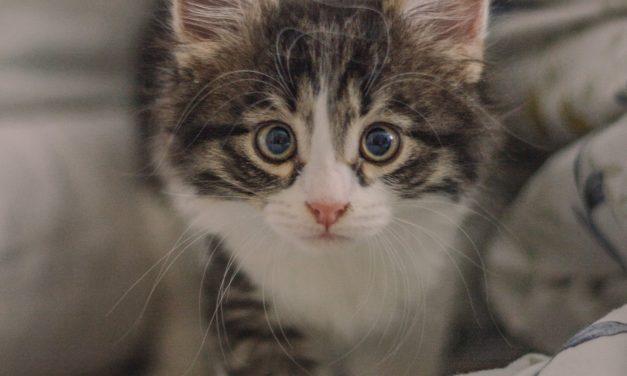 Yavru Kedi Mama Tavsiyesi – En İyi Mama ve Süt Tozu